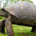 ガラパゴスゾウガメは寿命が長い!?日本にいる?甲羅は進化の証!